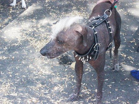 Chupacabra, a eight month-old Mexican hairless, won ugliest dog at the Montebello neighborhood dog competition Saturday. (EGP photo by Nancy Martinez)